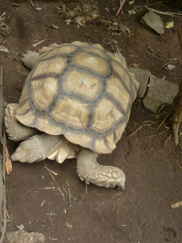 Napu, the African Tortoise - he is about 2 12 feet head to tail