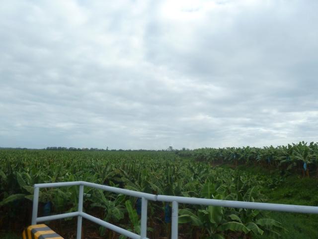 banana fields!