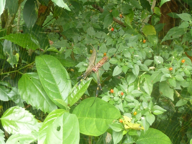 Big spider! Puerto Viejo, Costa Rica