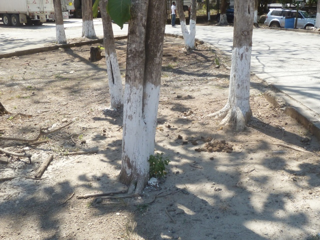 We have seen the trees all over Central America painted like this.... any one know why?