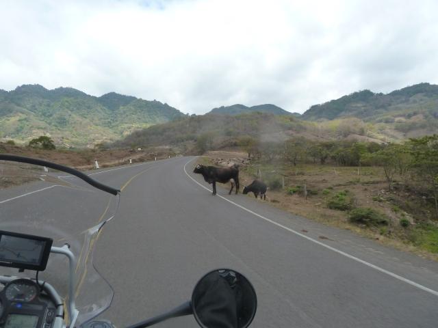 Bull crossing, Nicaragua
