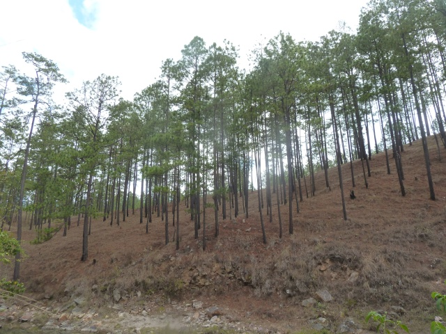Pine trees in Central America?!  Honduras