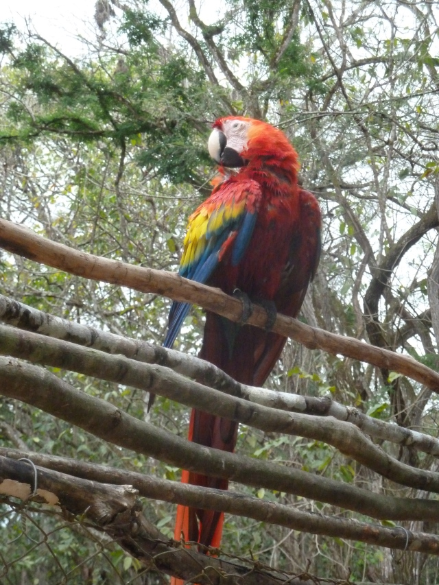 Macaw, Copan, Honduras