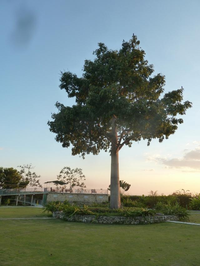 Ceiba tree at Casa don David