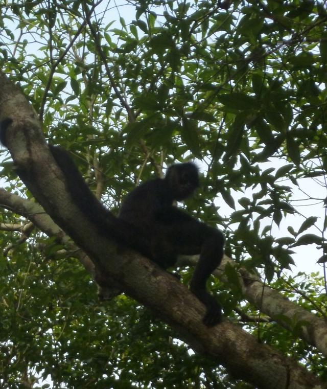 monkey business in Tikal, Guatemala