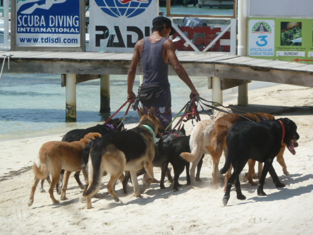 dog walker, Ambergris Caye, Belize