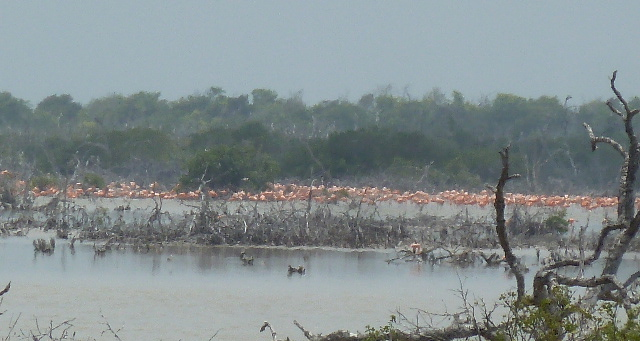 Flamingos, Yucatan Peninsula, Mexico