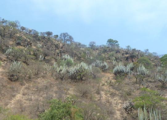 Organpipe cactus, Mexico