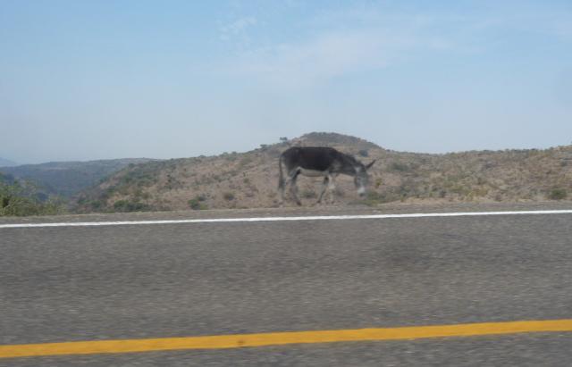 Donkey - Mexico