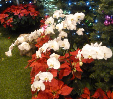 Christmas orchids - Singapore airport