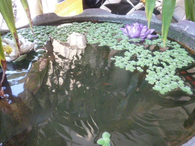 Itty bitty fish pond, Bangkok
