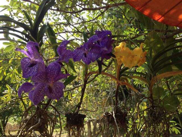 orchids near Pai, Thailand