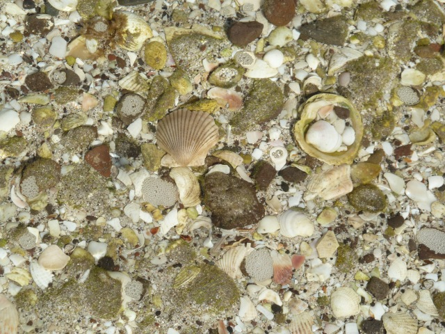 sea shells through the clear water