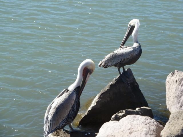 Pelicans at Loreto